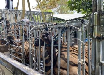 Công an Nghệ An đột kích điểm nuôi nhốt hổ trái phép, phát hiện 17 cá thể Hổ